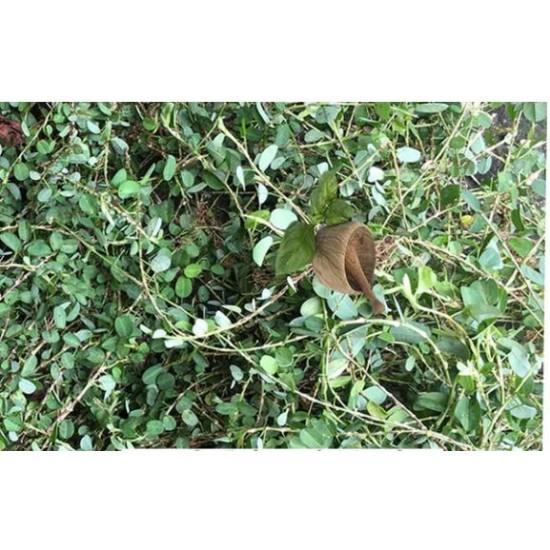 Medina Jamaican Herb (aphrodisiac) - Loose leaves -Organic- Wild Grown Sexual Booster Herb