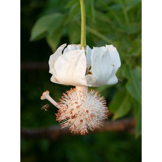 Boabab Fruit Powder Sperm/Pregnancy food - Vegan source of vitamin C, calcium, magnesium, zinc and selenium 2lbs