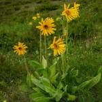 Arnica FLOWER Cut ORGANIC Loose Herbal TEA Arnica montana,25g/850g