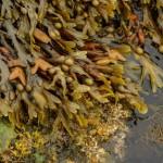 Bladderwrack PLANT Cut ORGANIC Loose Herbal TEA Fucus vesiculosus,28g/850g