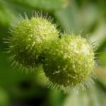 Cleavers Cut ORGANIC Loose Herbal TEA Galium aparine,25g/850g