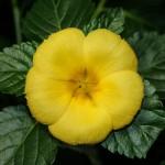 Damiana LEAF Cut ORGANIC Loose Herbal TEA Turnera aphrodisiaca,25g/850g