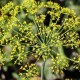 Fennel SEEDS Whole ORGANIC Loose Dried HERB Foeniculum vulgare, 25g+