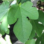 Fig LEAF for Cut ORGANIC Loose Herbal TEA Ficus carica, 50g
