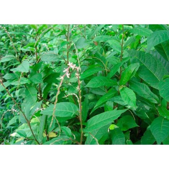 Anamu Guinea Henweed/ Guinea Hen Weed - Guinea Hen Weed 3 OZ