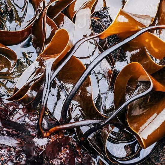 Kelp SEAWEED POWDER ORGANIC