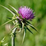 Milk Thistle SEEDS Whole ORGANIC Herbal SPICE Silybum marianum,25g/850g