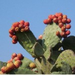 Nopal (Opuntia, prickly pear, nopal cactus) Powder Wildcrafted, 12oz