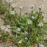 Shepherds Purse Cut ORGANIC Loose Herbal TEA Capsella bursa pastoris,25g/850g
