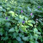 Blue Vervain Cut ORGANIC Loose Herbal TEA Verbena officinalis,25g/850g