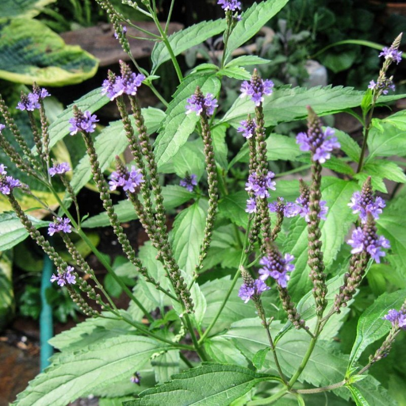 Calms the central nervous system  Vervain has been useful to herbal