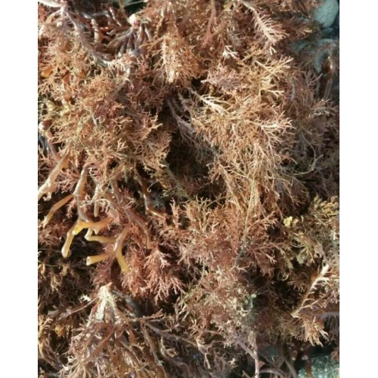 Sea Moss  Organic  WILD CRAFTED Full spectrum Real Deal Jamaican   4oz