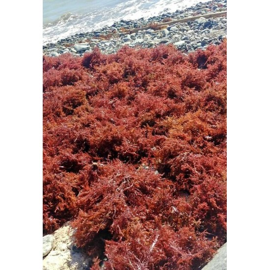 Sea Moss WILDCRAFTED Raw Purple Jamaican Irish BULK  5lb Wholesale Pack